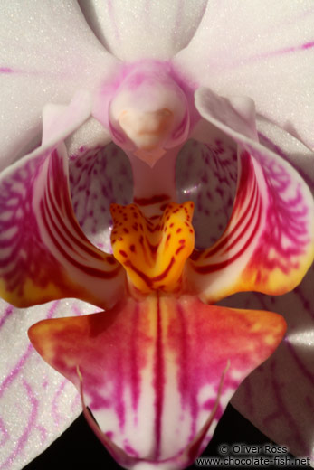 Phalaenopsis orchid close-up