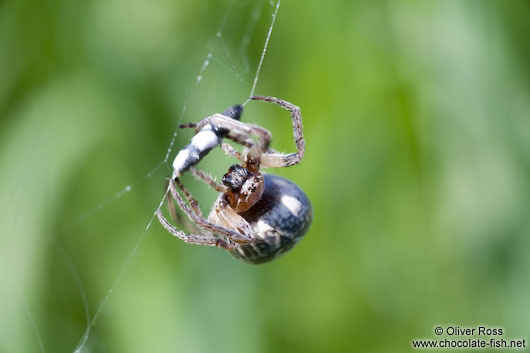 Spider in web wrapping its prey