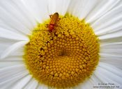 Travel photography:Mountain daisy with insect, Spain