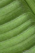 Travel photography:Banana leaf detail