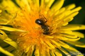 Travel photography:Bee on dandelion flower