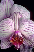 Travel photography:Phalaenopsis orchid flowers