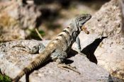 Travel photography:Lizard basking in the sun at Chichen Itza, Mexico