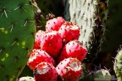 Travel photography:Cactus fruit at the Teotihuacan archeological site, Mexico