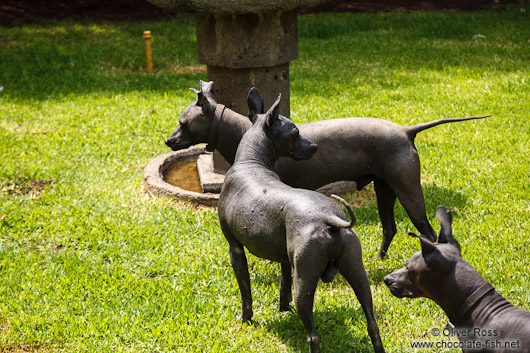Xoloitzcuitle dogs at the  Museo Dolores Olmedo in Mexico City