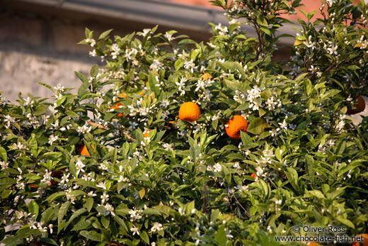 Orange tree in Perast