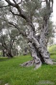 Travel photography:Old olive trees near Bar, Montenegro