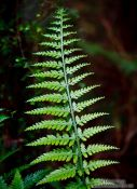 Travel photography:Fern in Lake Kaniere Forest, New Zealand