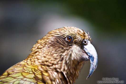 Kea close-up