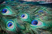 Travel photography:Peacock feathers, New Zealand