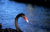 Travel photography:Black swan, New Zealand