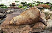 Travel photography:Seal, New Zealand