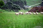 Travel photography:Curious Sheep, New Zealand