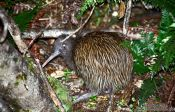 Travel photography:Brown Kiwi (Apteryx australis), New Zealand