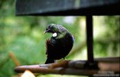 Travel photography:North Island Tui, New Zealand