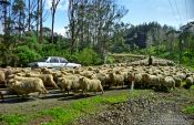 Travel photography:1300 sheep on a Northland road, New Zealand