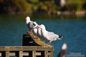 Travel photography:Gulls in Rotorua, New Zealand