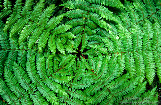 Fern from above