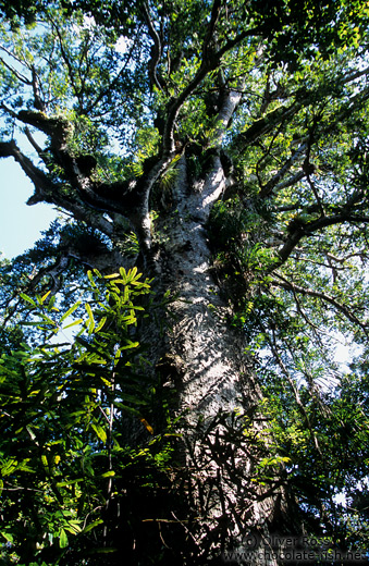 Giant Kauri in Waipuoa Forest