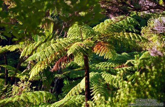 Panga (Tree Fern)