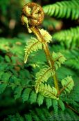 Travel photography:Uncurling fern, New Zealand