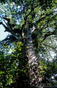 Travel photography:Giant Kauri in Waipuoa Forest, New Zealand