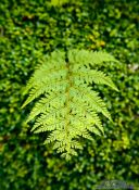 Travel photography:Fern near Hokitika, New Zealand