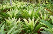 Travel photography:Crown Ferns, New Zealand