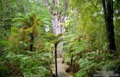 Travel photography:Forest with giant Kauri tree in Waipoua, New Zealand