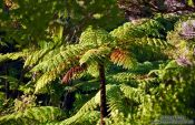 Travel photography:Panga (Tree Fern), New Zealand