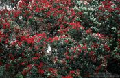Travel photography:Pohutukawa tree in Wenderholm regional park, New Zealand