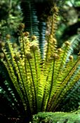 Travel photography:Crownfern uncurling, New Zealand