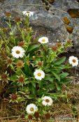 Travel photography:Mountain Daisies, New Zealand