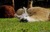 Travel photography:Llama dosing at Machu Picchu, Peru
