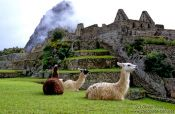 Travel photography:Llamas at Machu Picchu, Peru