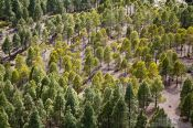 Travel photography:Trees near Roque Nublo Gran Canaria, Spain