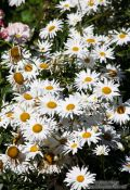 Travel photography:Daisy flowers in the gardnes of the Generalife of the Granada Alhambra, Spain