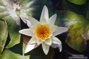 Travel photography:Water lily (Nymphaea alba) in the gardens of the Generalife in the Granada Alhambra, Spain