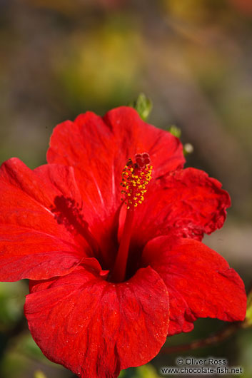 Hibiscus flower in Palma