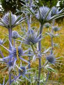 Travel photography:Thistles in the Alto Pirineo National Park, Spain