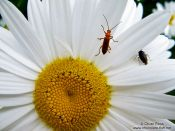 Travel photography:Mountain daisy with insects in the Alto Pirineo National Park, Spain