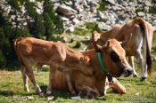 Travel photography:Cows near the Pic de Bastiments, Spain