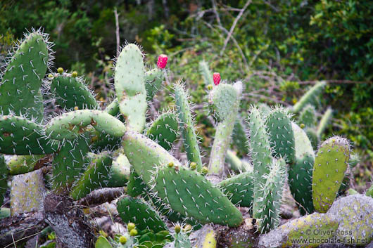 Cactus in Anaga Rural Park