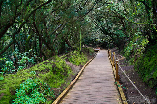 Laurisilva forest in Anaga Rural Park on Tenerife