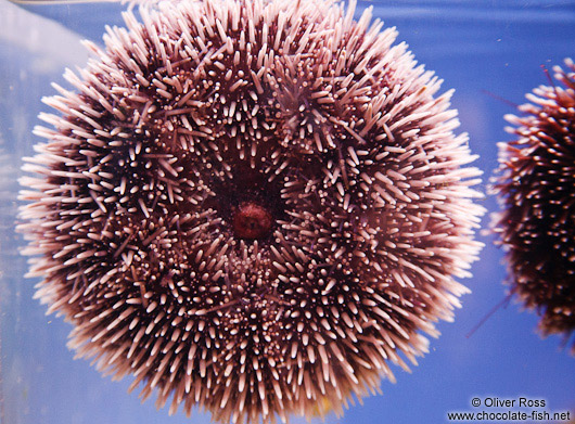 Sea urchin in the Valencia Aquarium