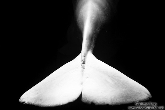 Tail fin of a Beluga Whale in the Valencia Aquarium