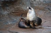 Travel photography:Sea Lions in the Valencia Aquarium, Spain