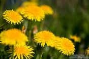 Travel photography:Dandelion flowers, Germany