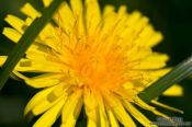 Travel photography:Dandelion flower, Germany
