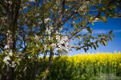 Travel photography:Flowering cherry trees with rape field, Germany